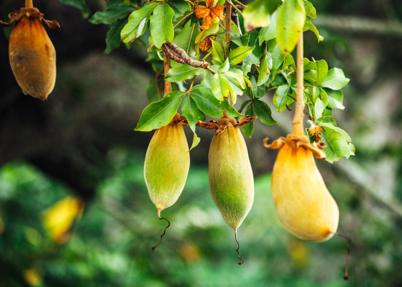 lista de superalimentos fruto baobab