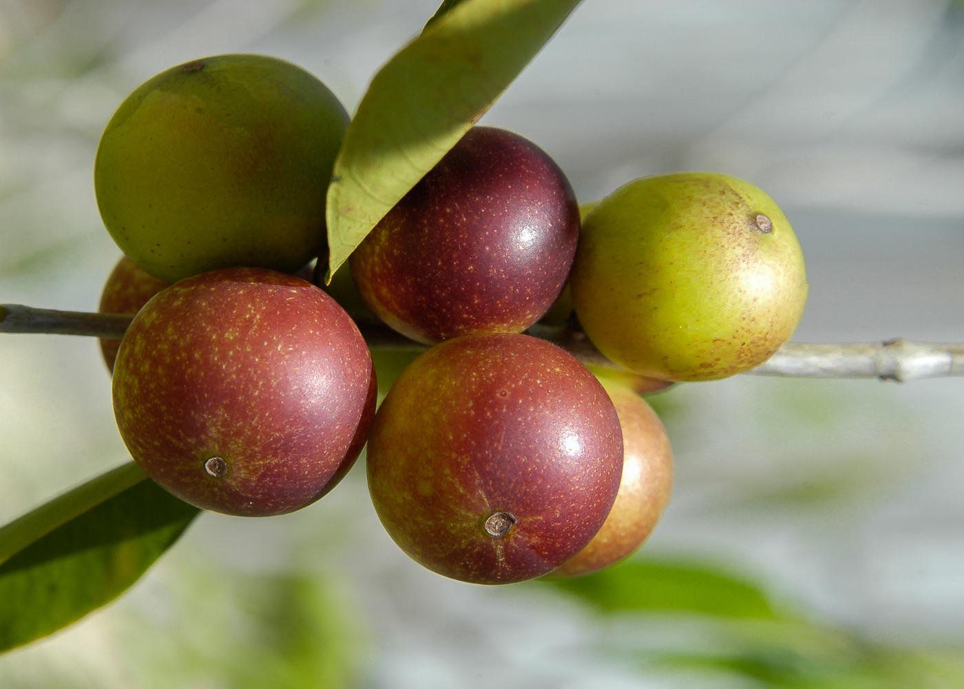 lista de superalimentos fruto camu camu
