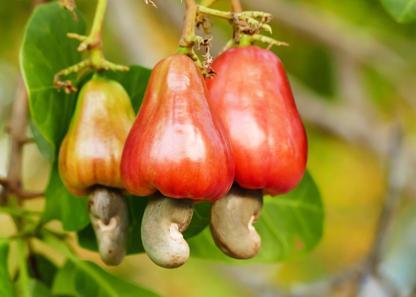 fruto cajus