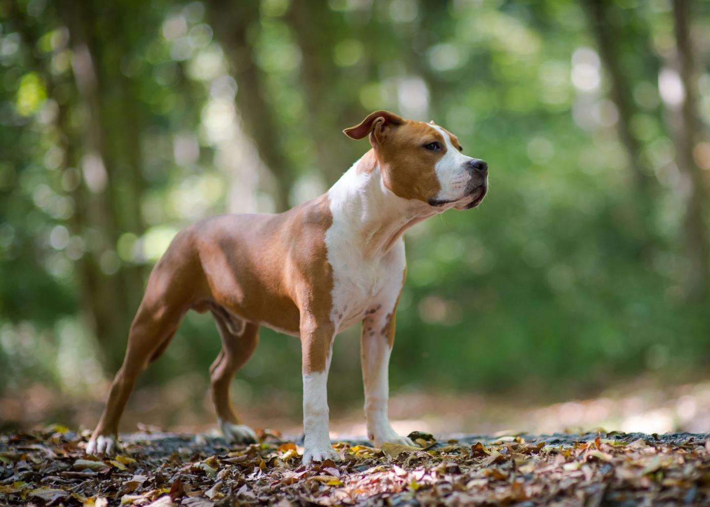 american staffordshire terrier no jardim