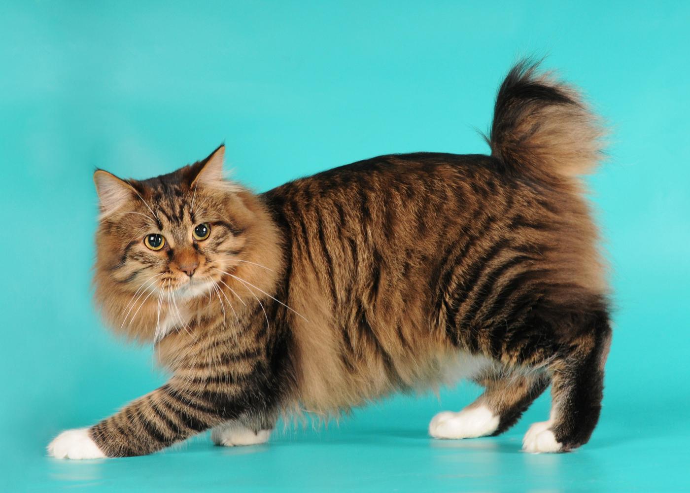 bobtail americano gato