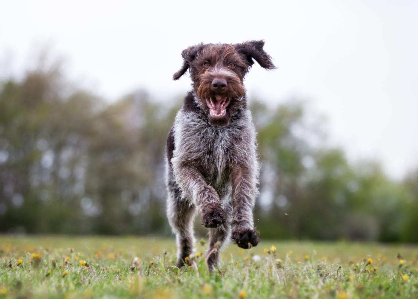 cão braco alemão a correr no jardim