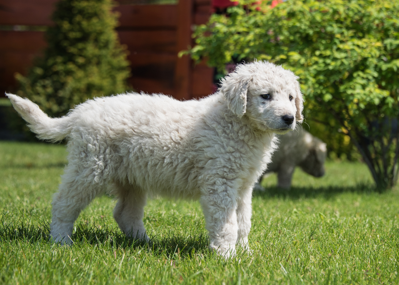 cão pequeno kuvasz