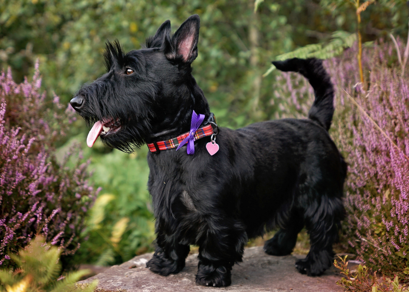cão scottish terrier na floresta