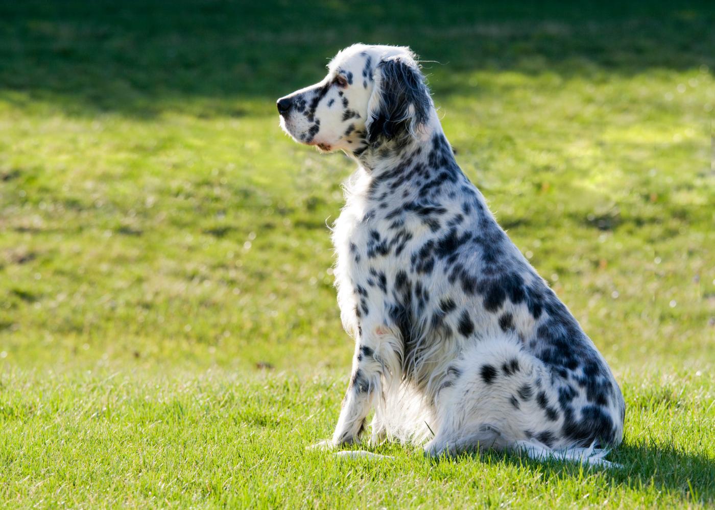 cão setter inglês no jardim