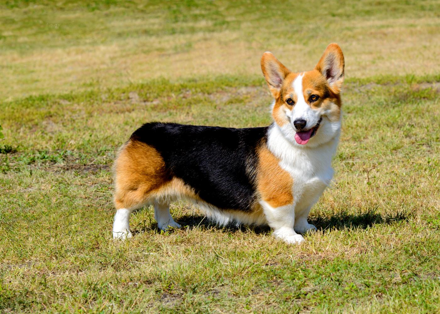 cão welsh corgi cardigan no jardim