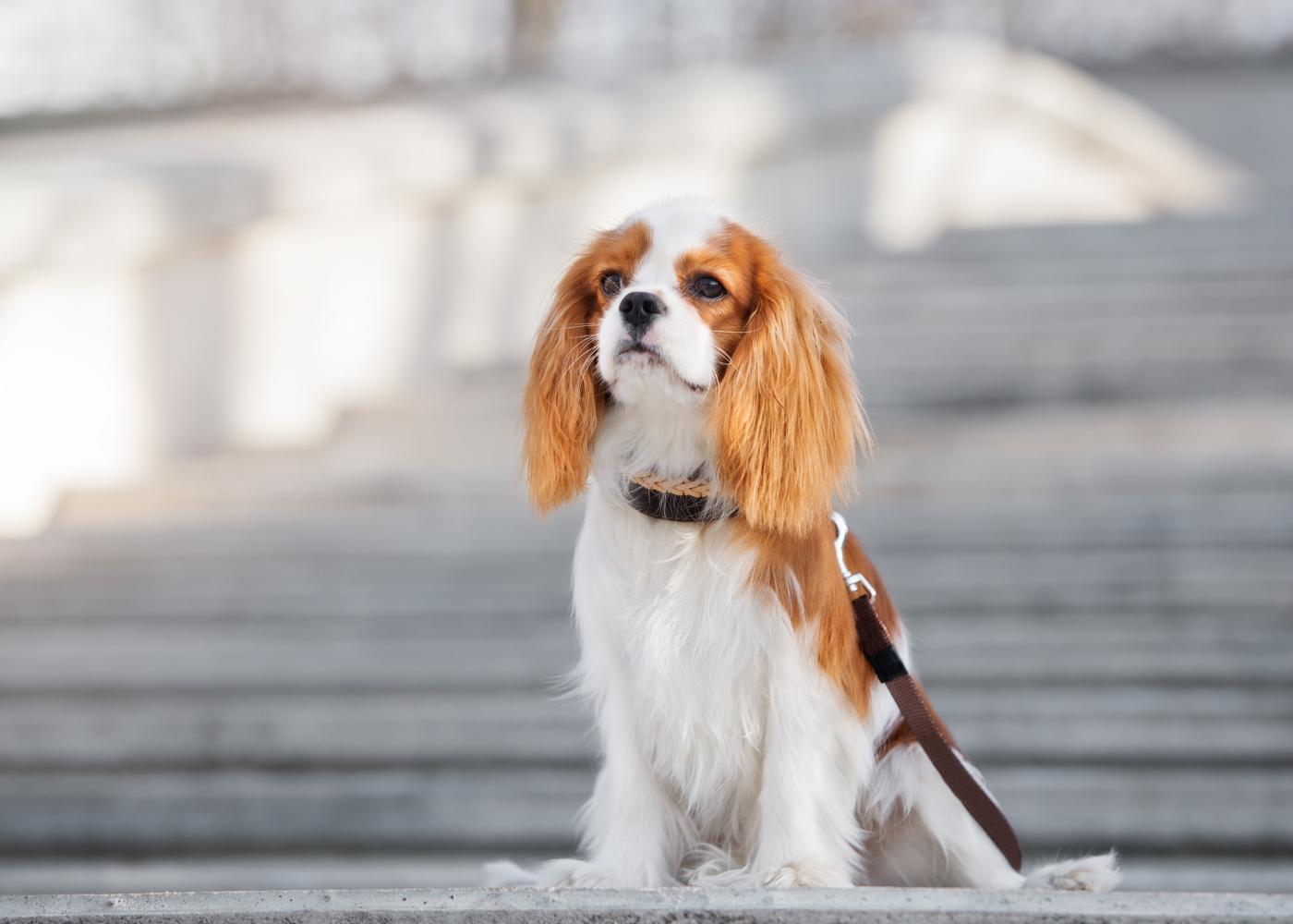 Cavalier King Charles Spaniel a passear