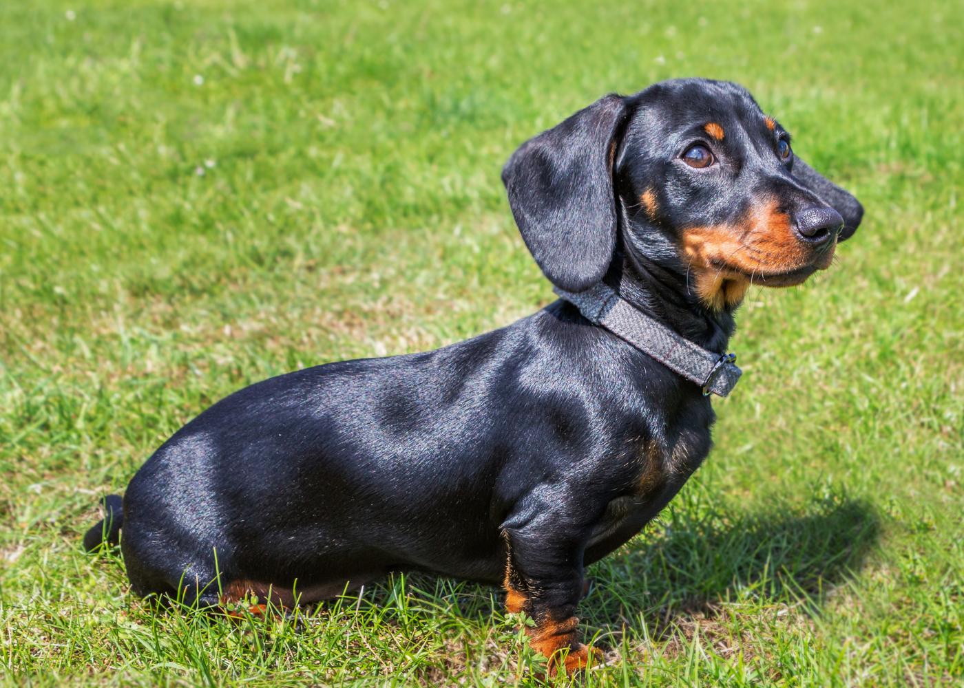 dachshund no jardim