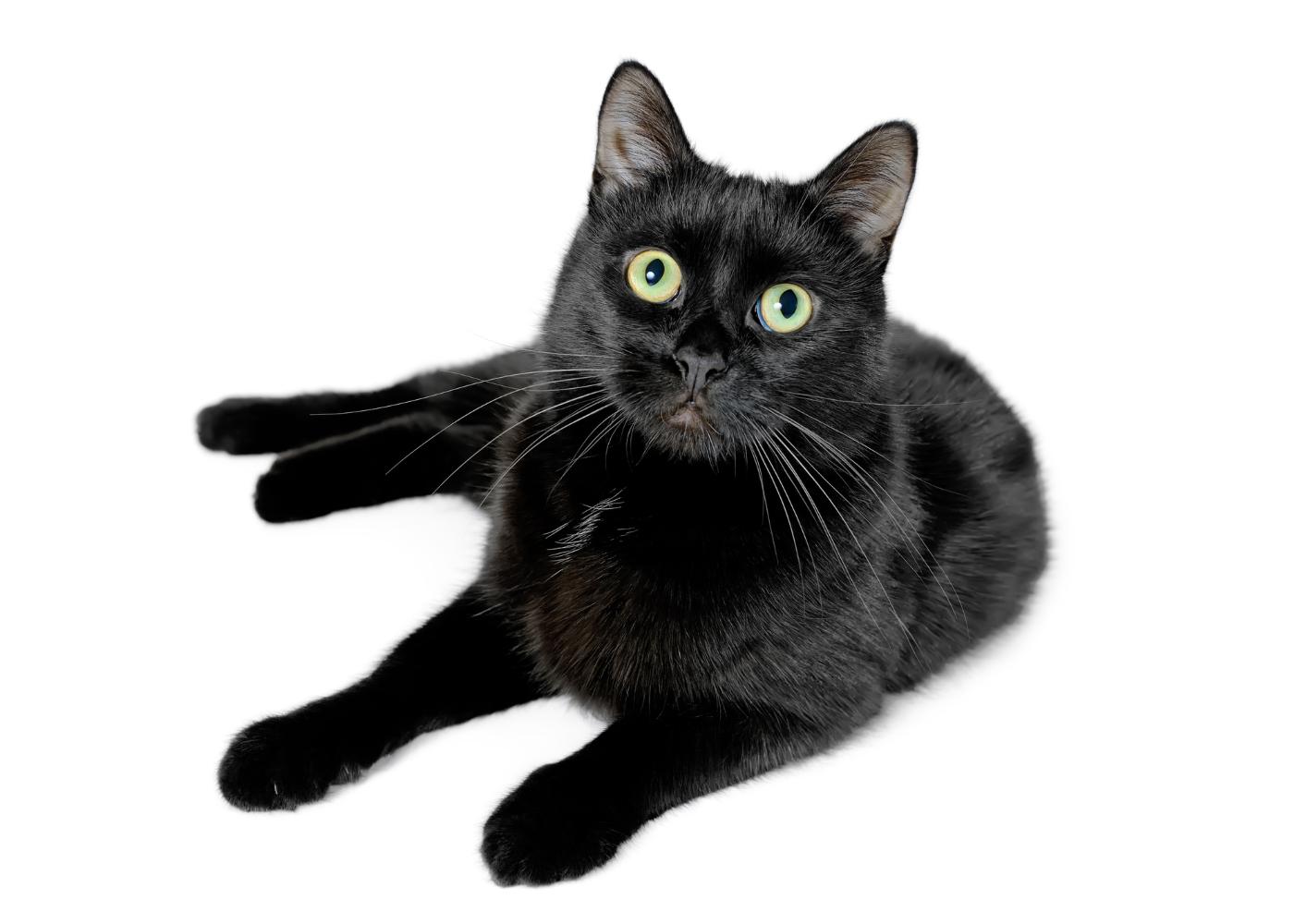 gato bombaim