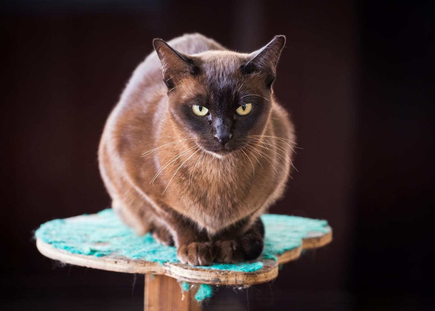 gato burmes em cima de poleiro