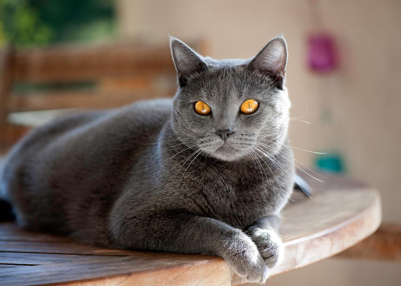 gato chartreux deitado na mesa