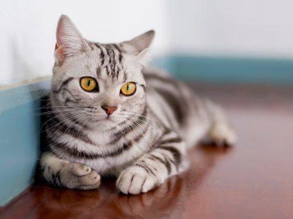 gato de pelo curto americano deitado