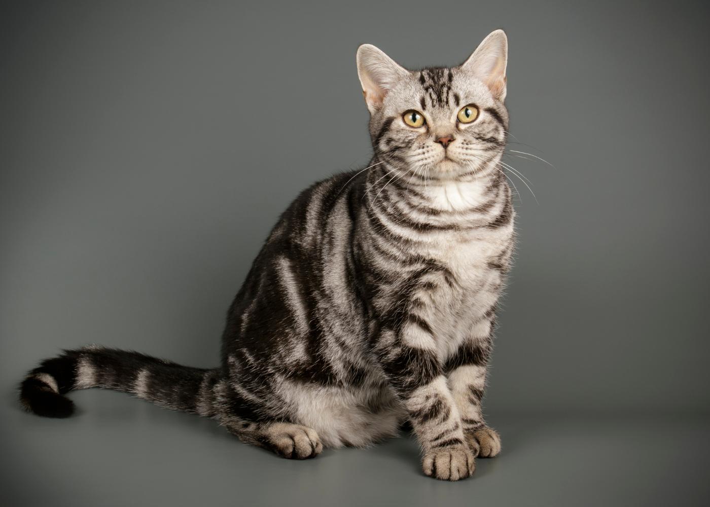 gato de pelo curto americano sentado