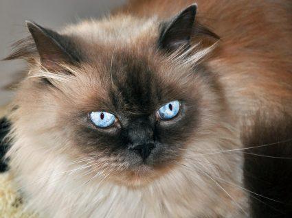 gato do himalaia