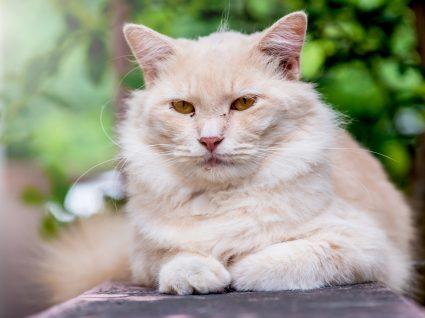 gato exótico pelo curto