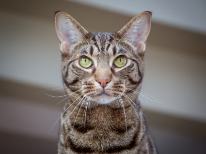 gato ocicat a olhar