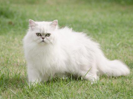 gato persa no jardim