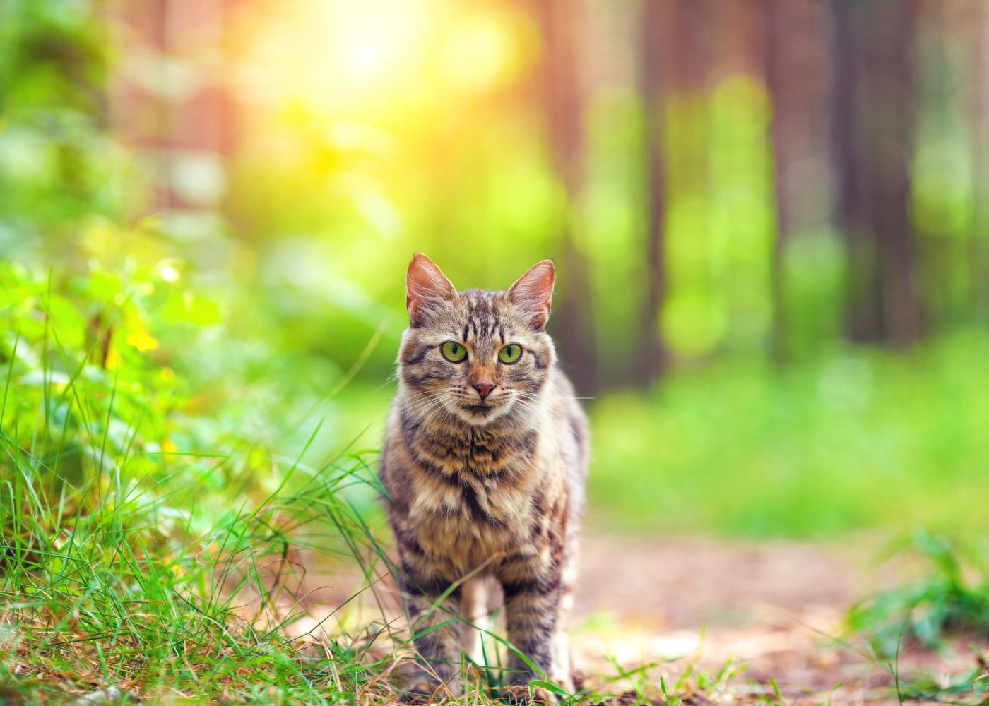 gato siberiano a passear