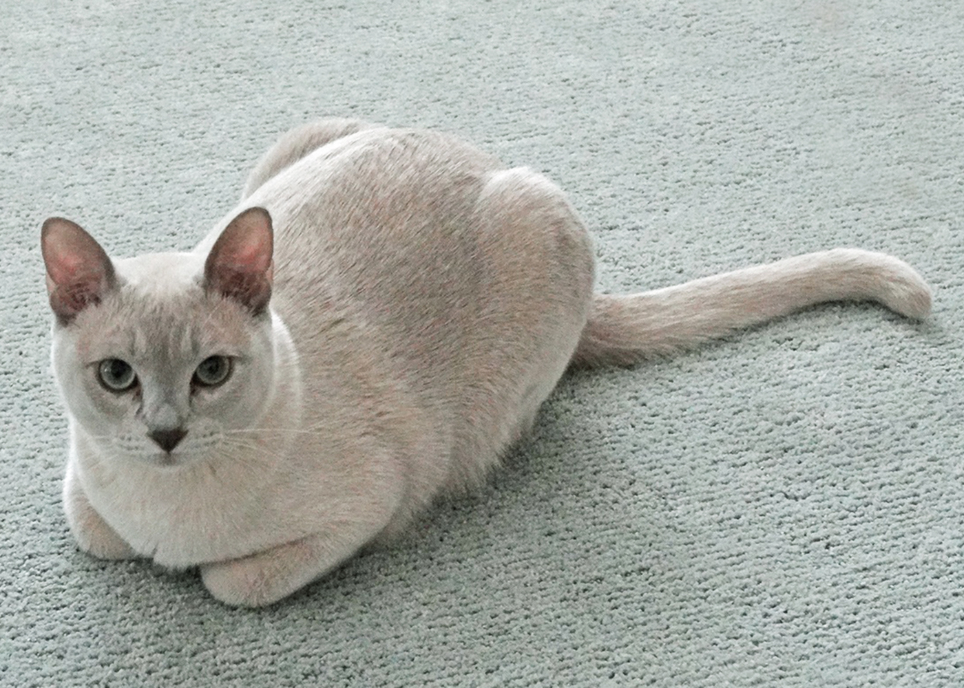 gato tonquinês deitado