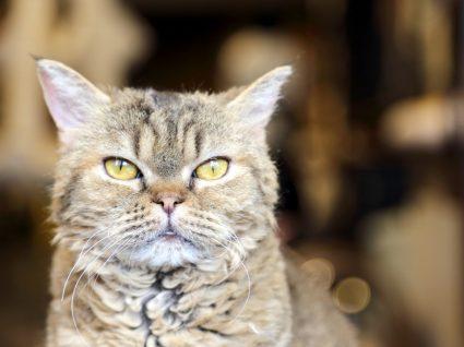 gato laperm