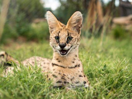 savannah gato