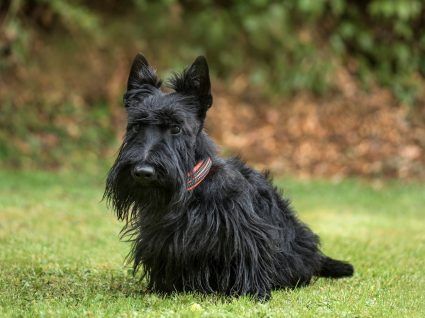 scottish terrier deitado