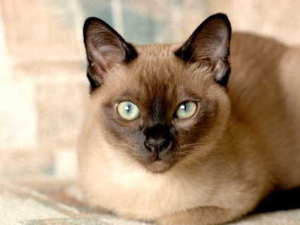 tonquinês gato