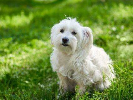 bichon frisé cão