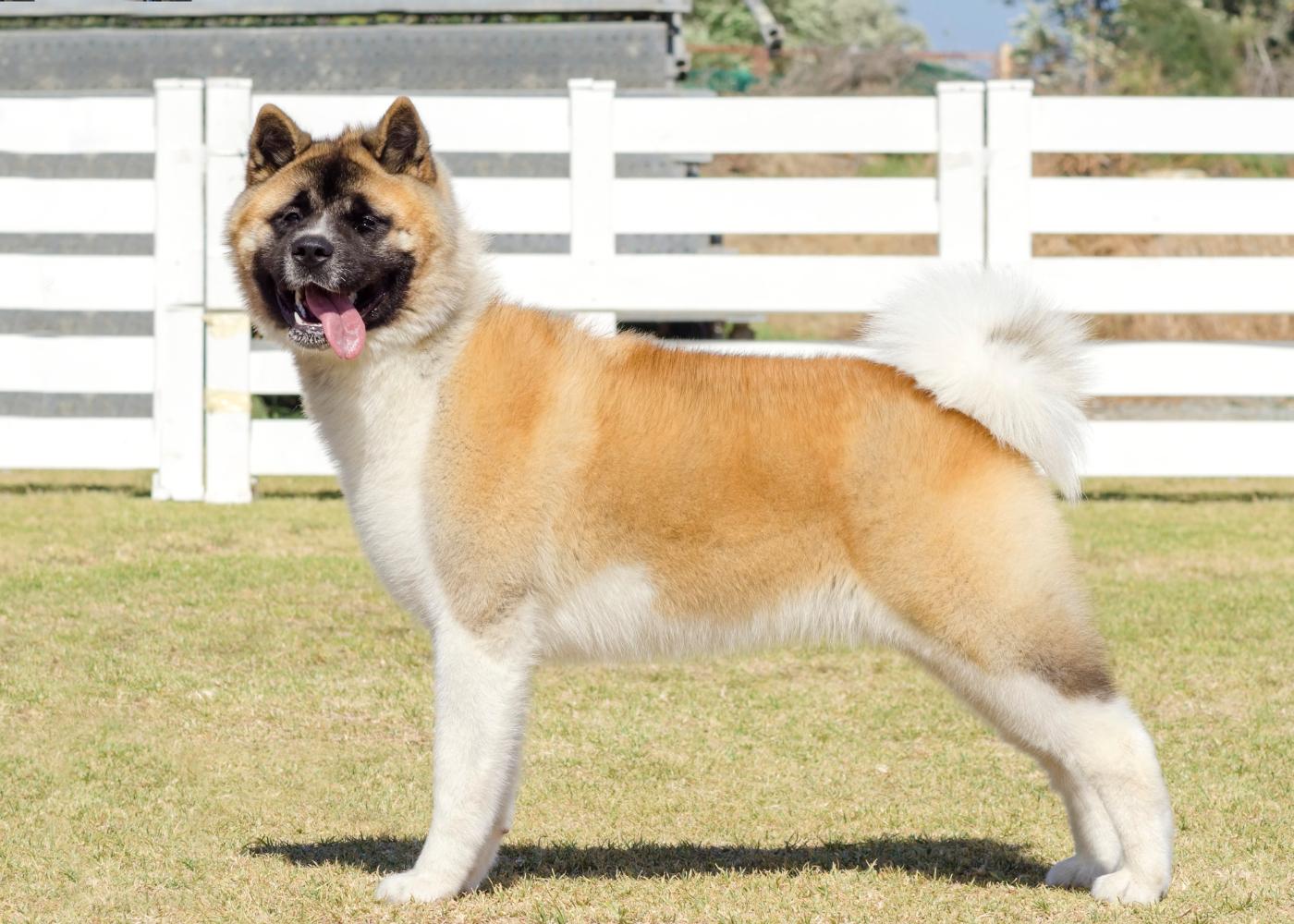 cão akita americano