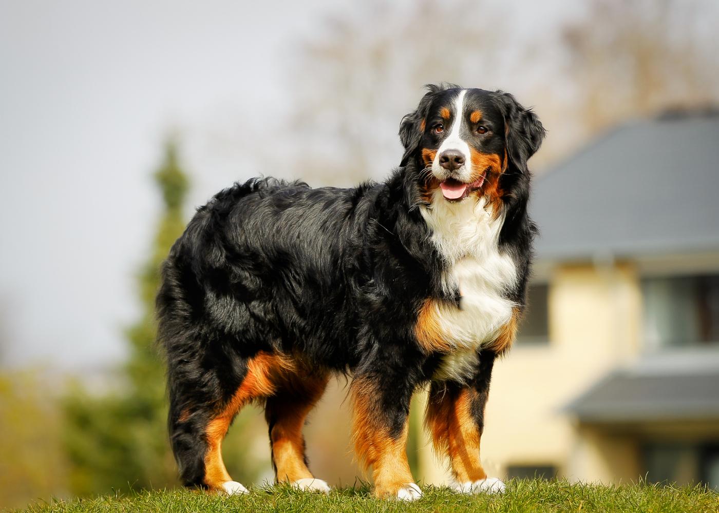 bernese mountain dog no jardim