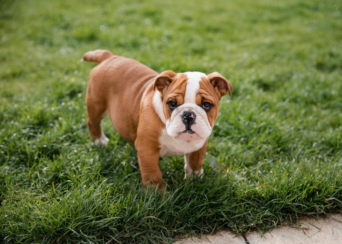 cão buldogue inglês
