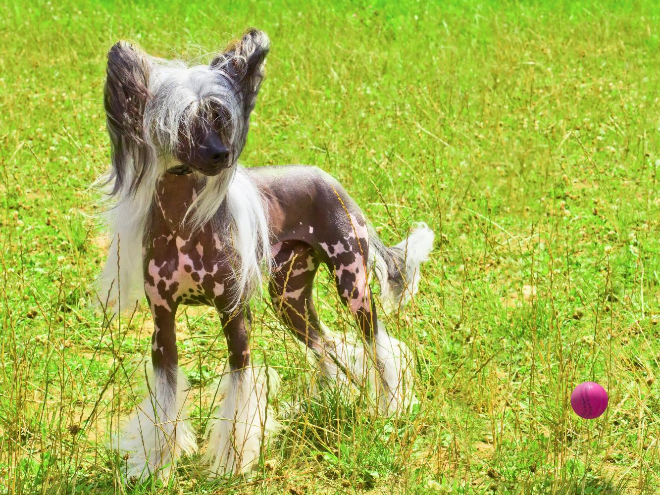 cão de crista chinês no jardim