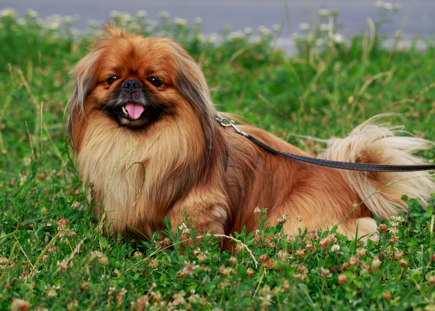cão pequinês no jardim