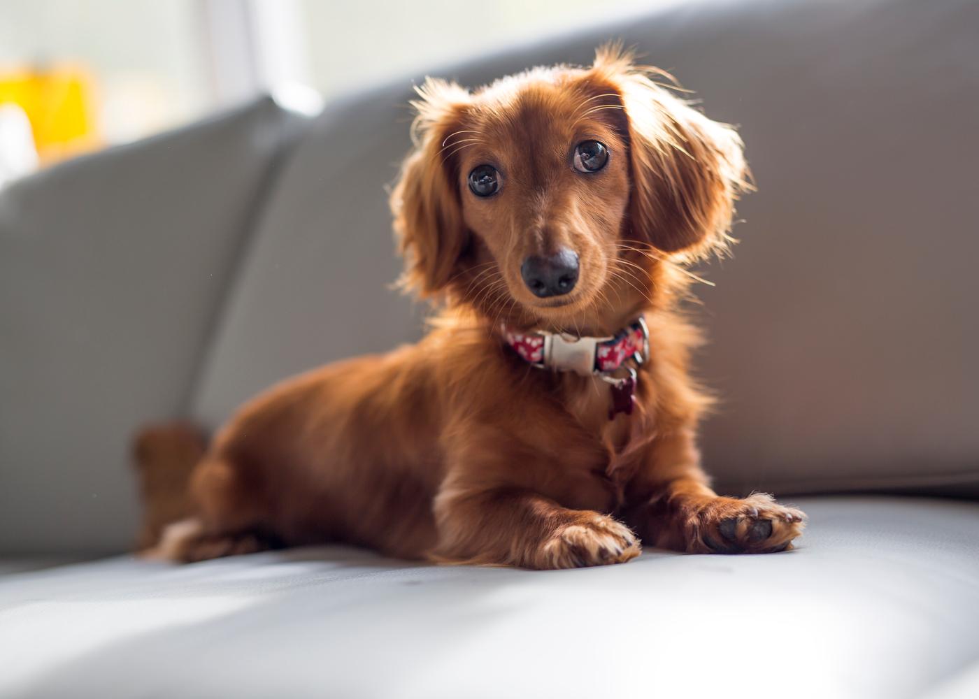 cão teckel no sofá