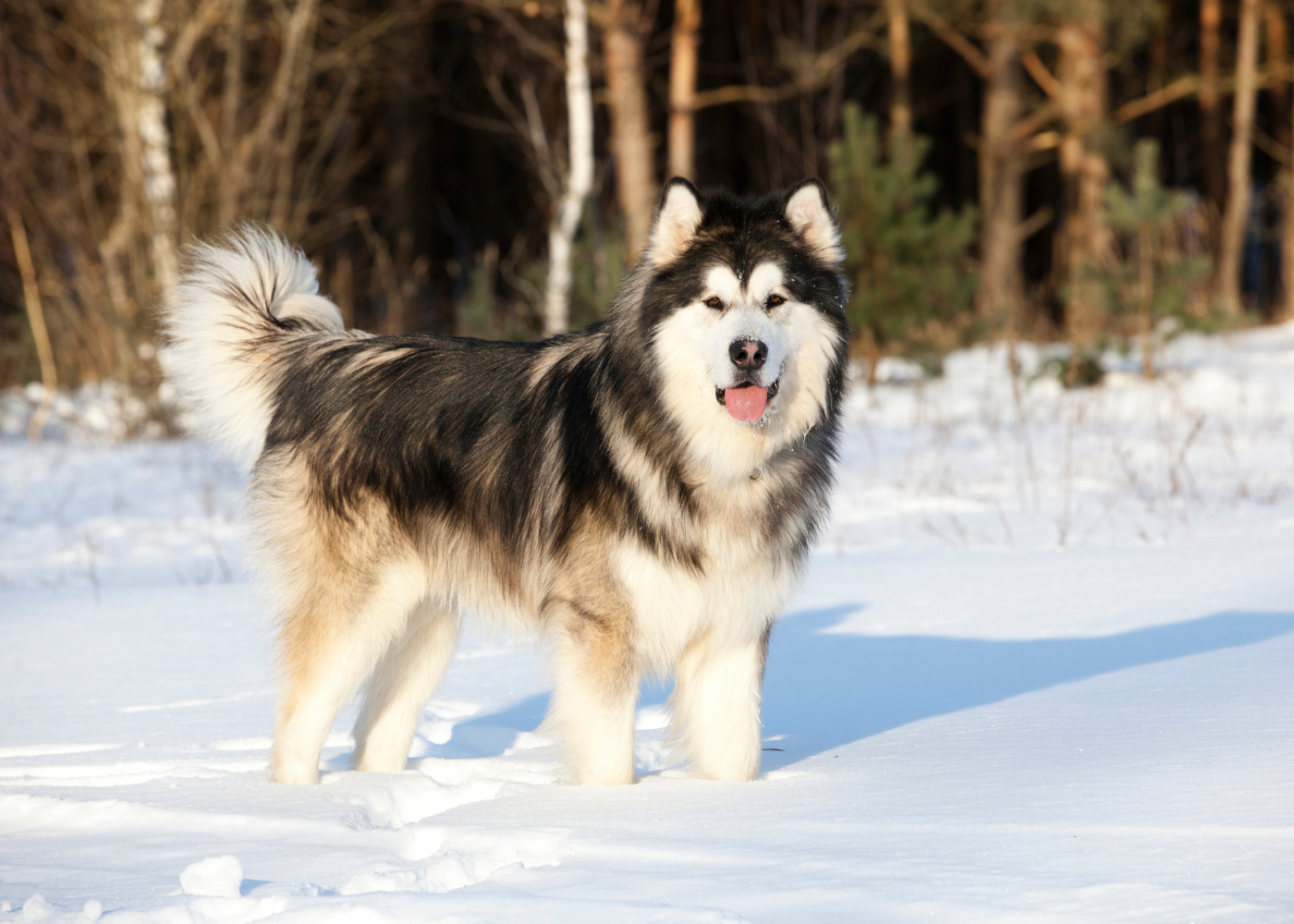 malamute do alasca na neve