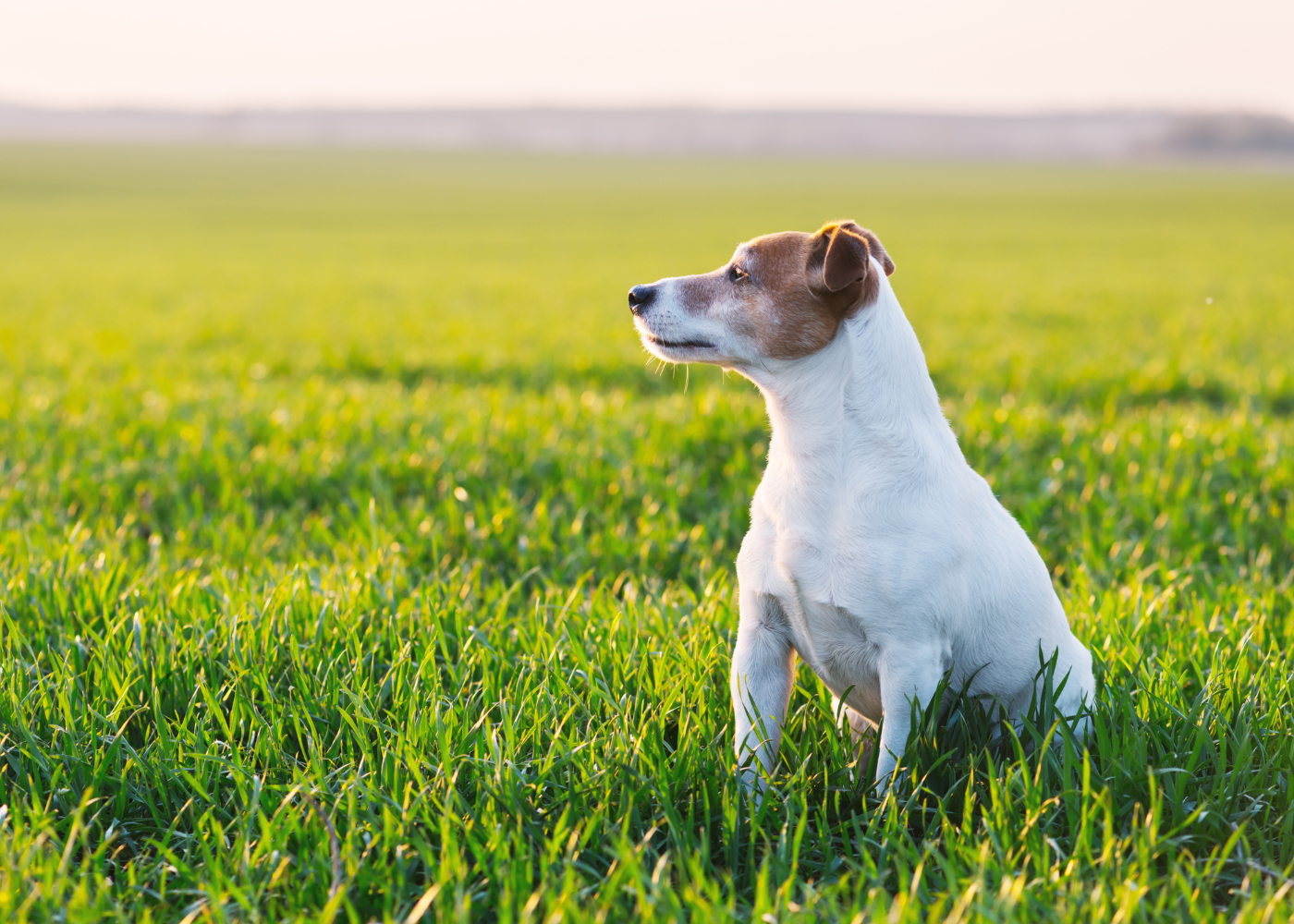 jack russel terrier sentado no jardim