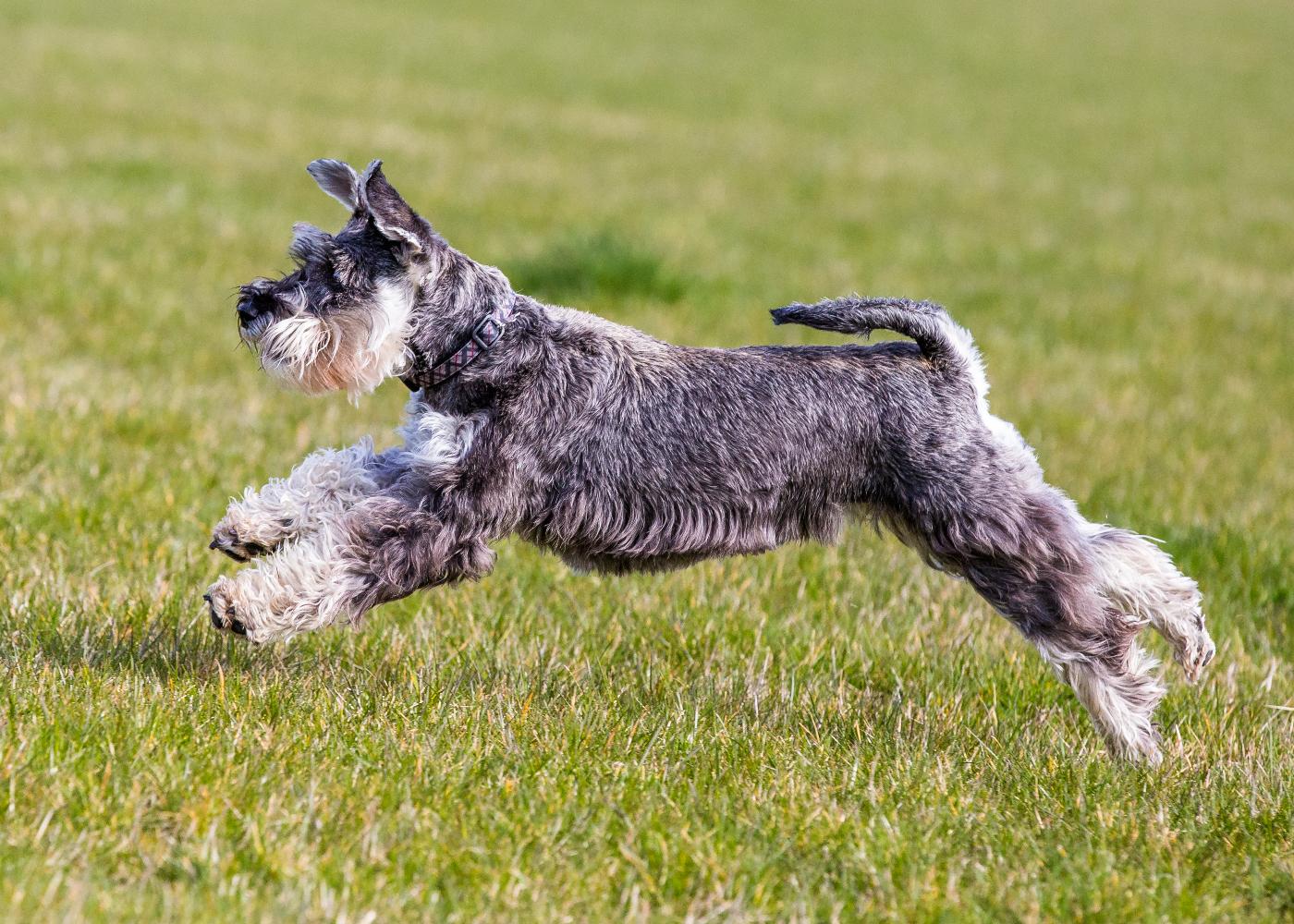 schnauzer a correr no jardim