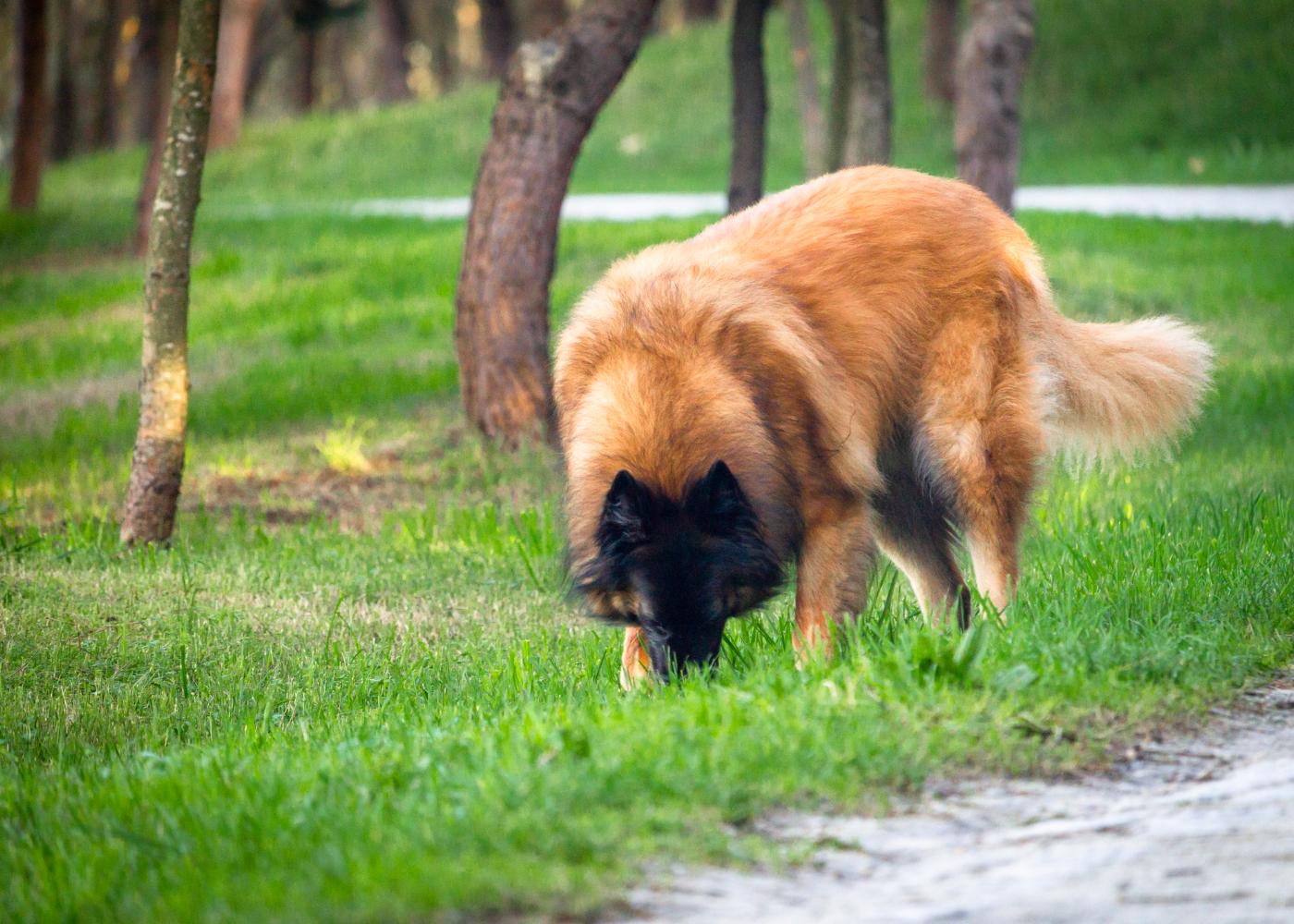cão serra da estrela no jardim
