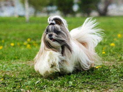 cão shi tzu