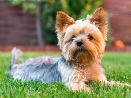 Raças de cães: Yorkshire Terrier