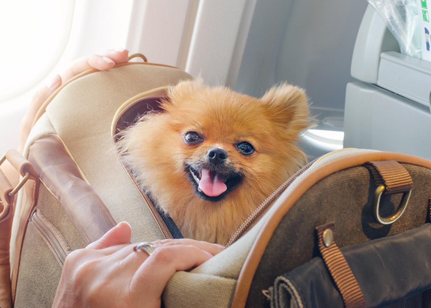 cão na cabine do avião a ser transportado