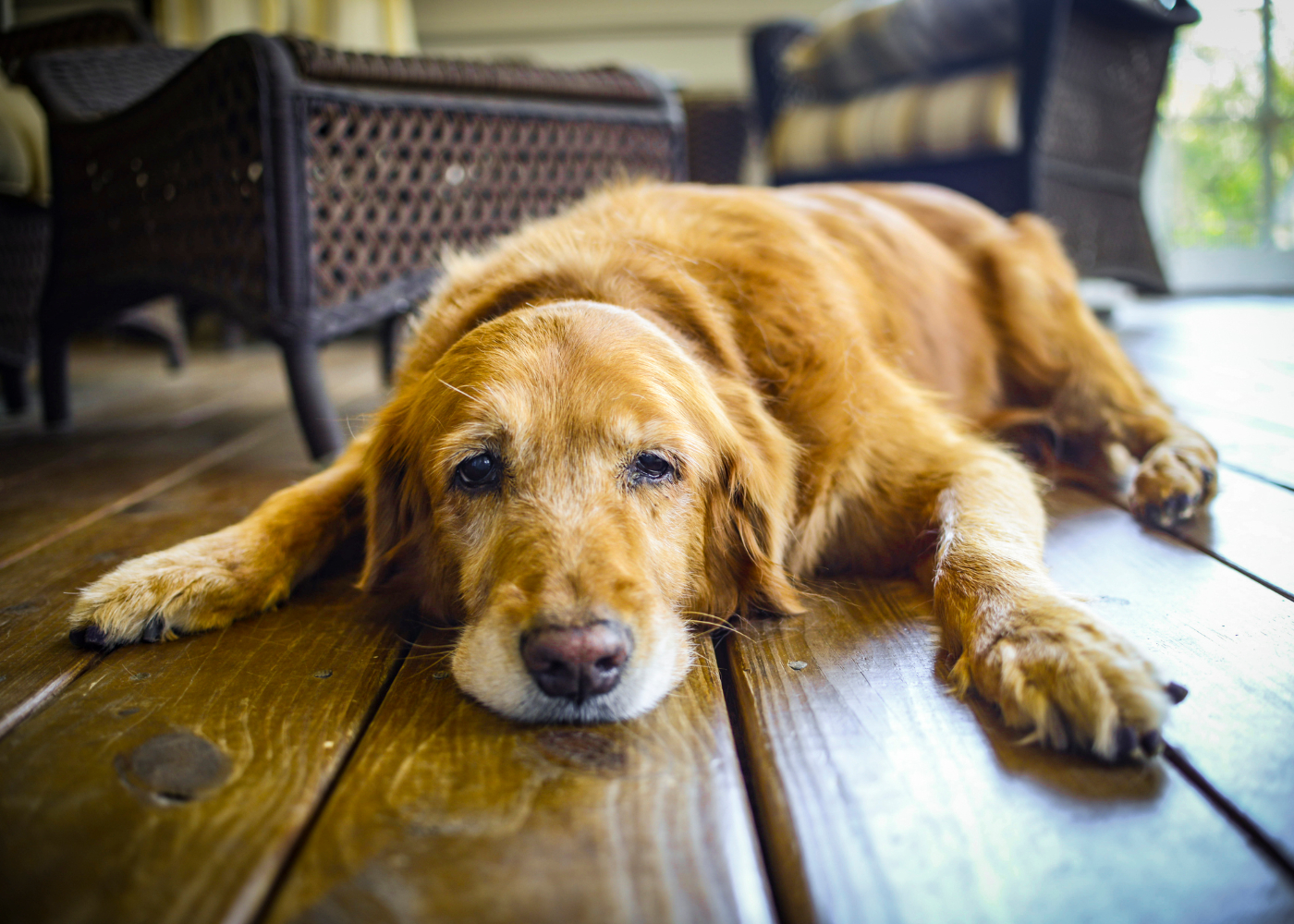 Cão idoso deitado no chão