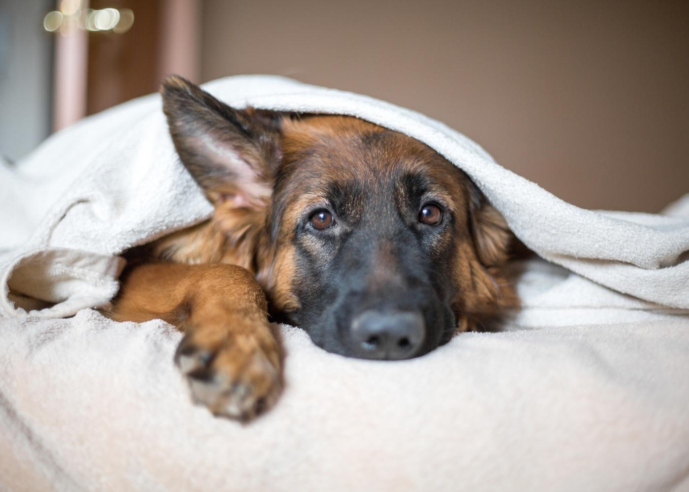 febre nos animais sinais
