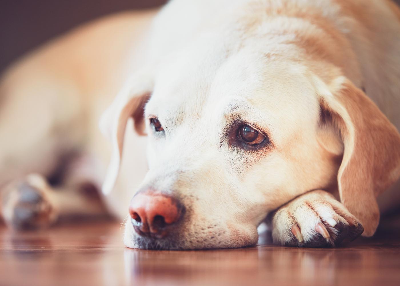 Cão em casa com semblante triste