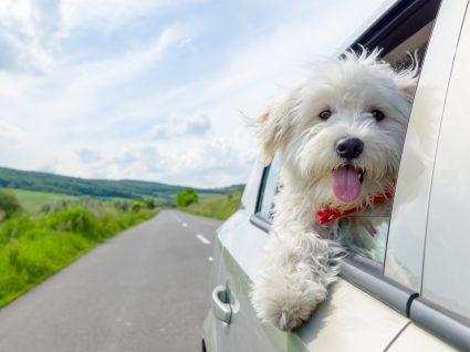 viajar com o cao de carro
