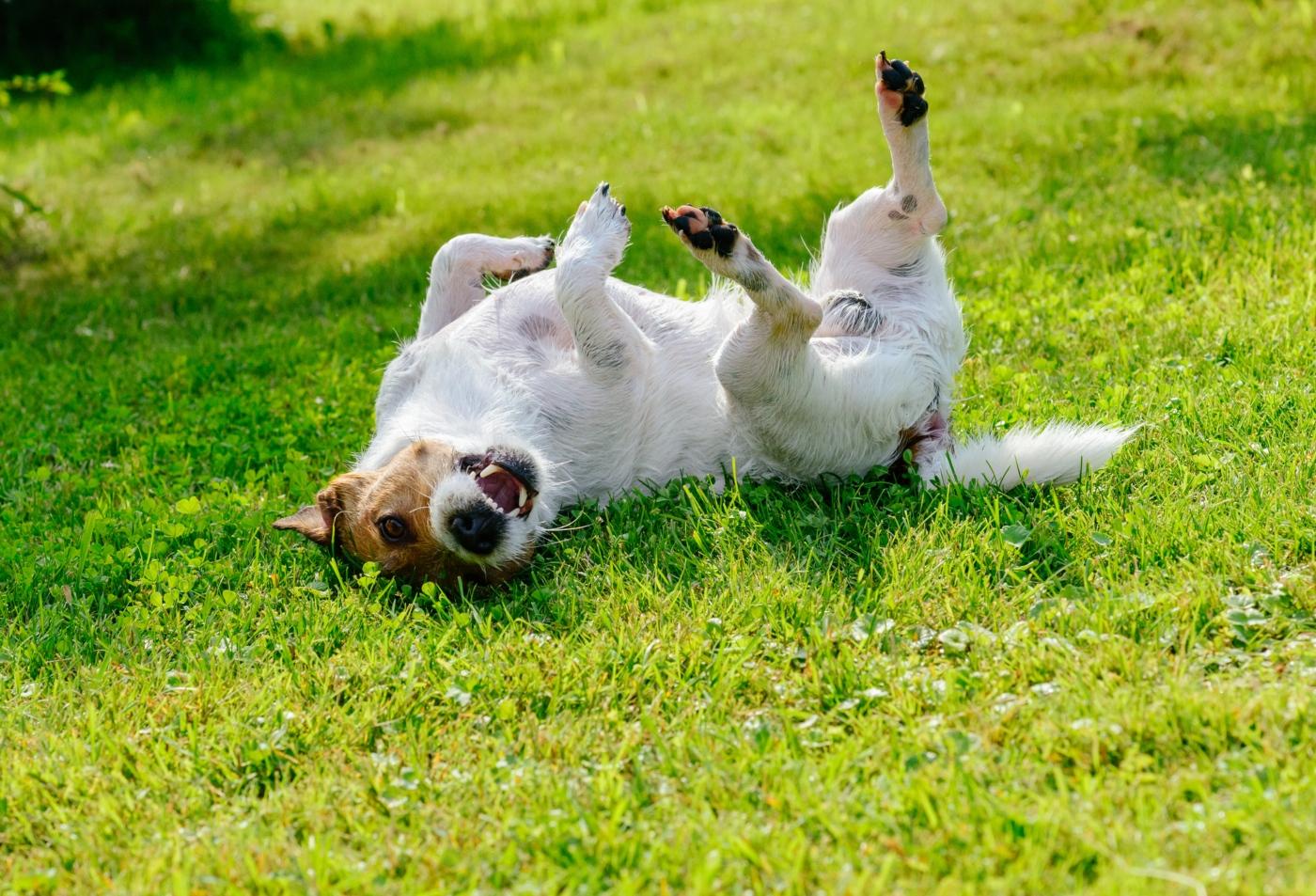 Tipos de ácaros nos cães