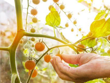 Alimentos geneticamente modificados: tomate