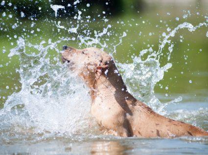 cão feliz por ter ido nadar
