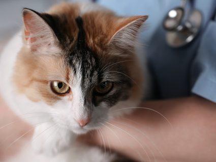 Gato no colo de um médico veterinário