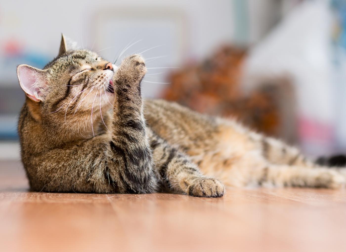 razões pelas quais o seu gato lambe-se em excesso
